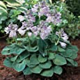 "Blue Mouse Ears Hosta - 2008 Hosta of the Year - Dwarf/Fairy Garden - 2.5"" Pot"