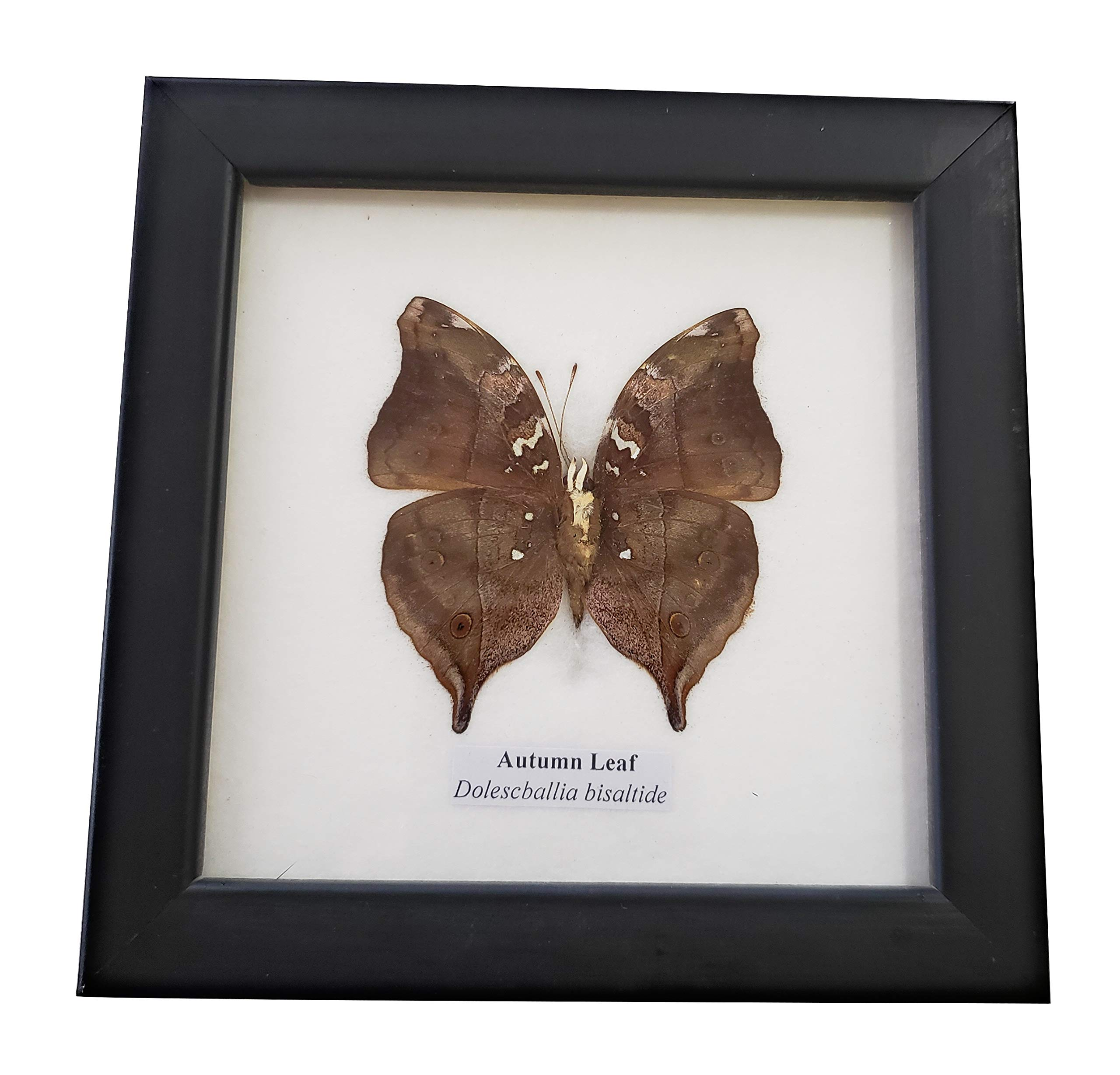 Real Framed Autumn Leaf Butterfly