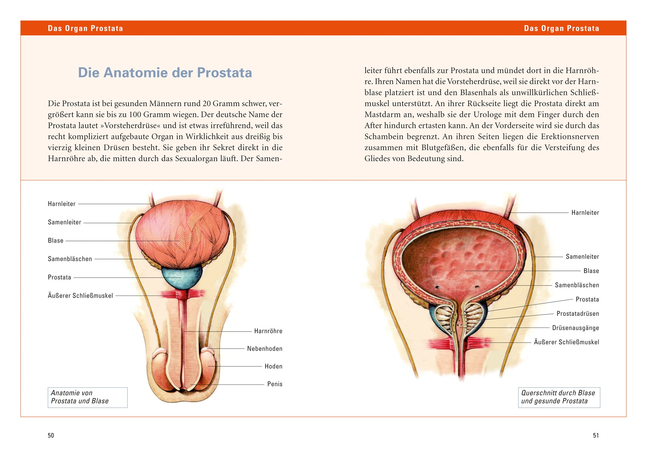 Niedlich Anatomie Der Prostata Und Blase Galerie - Menschliche ...