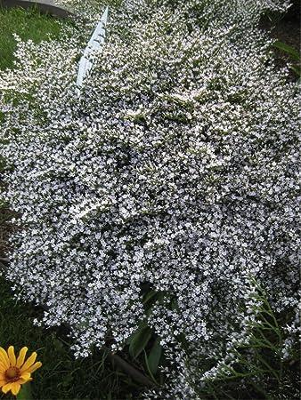 Amazon german statice white goniolimon tataricum l boiss german statice white goniolimon tataricum l boiss flower mightylinksfo