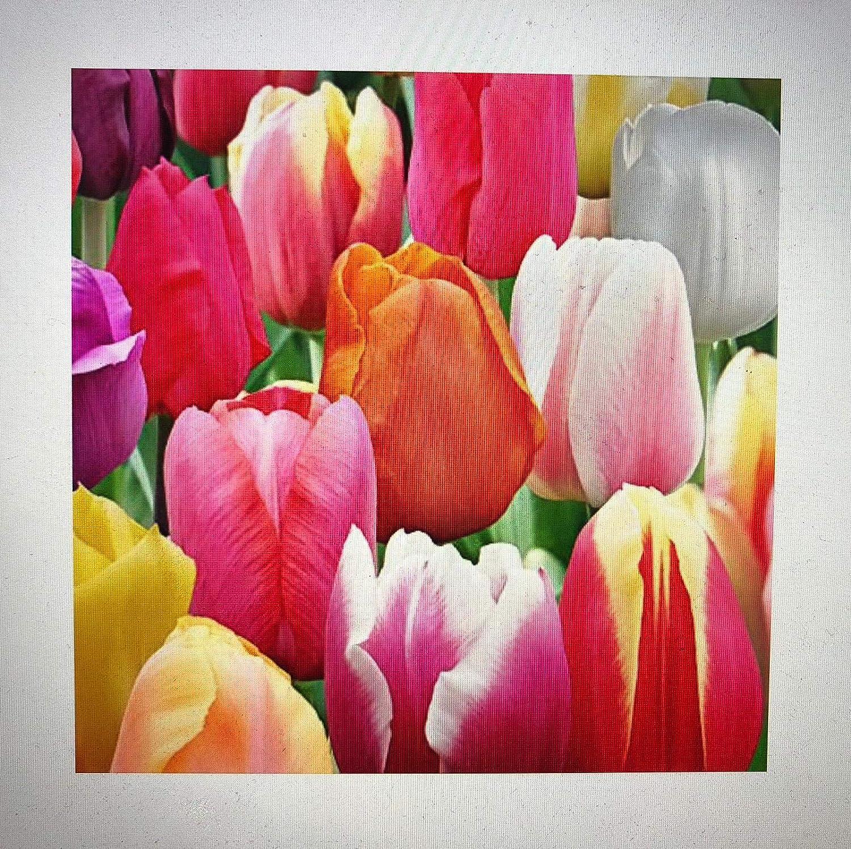 Amazon 60 Days Of Tulips Mixture 50 Tulip Bulbs Tulipa
