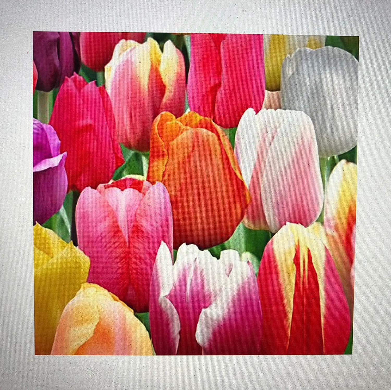 Amazon 60 days of tulips mixture 50 tulip bulbs tulipa amazon 60 days of tulips mixture 50 tulip bulbs tulipa triumph garden outdoor izmirmasajfo
