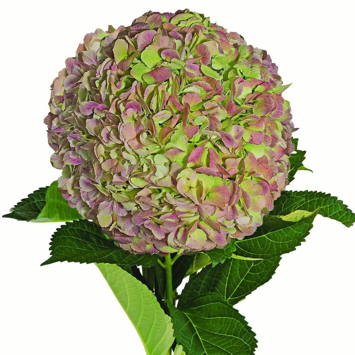 Farm Fresh Natural Jumbo Antique Green Hydrangeas - Pack 12 by Bloomingmore