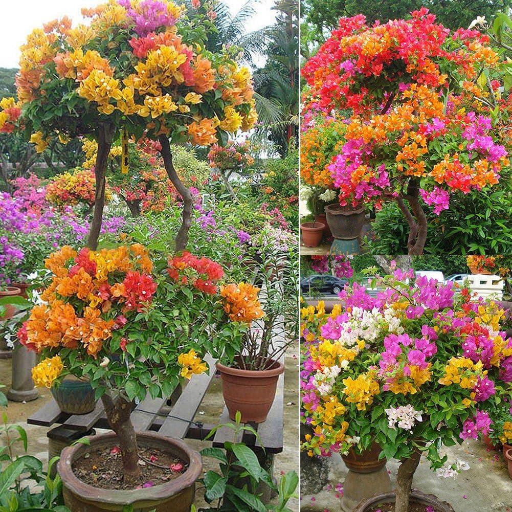 LOadSEcrs Garden 100Pcs Multicolor Bougainvillea Speetabilis Seeds Non-GMO Ornamental Plants Yard Office Decoration Open Pollinated Seeds