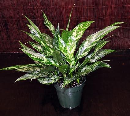 Amazon Aglaonema Maria 6pot Chinese Evergreen Excellent