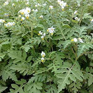 Litchi Tomato Seeds (Solanum sisymbriifolium) 50+ Heirloom Seeds in FROZEN SEED CAPSULES for The Gardener & Rare Seeds Collector - Plant Seeds Now or Save Seeds for Years