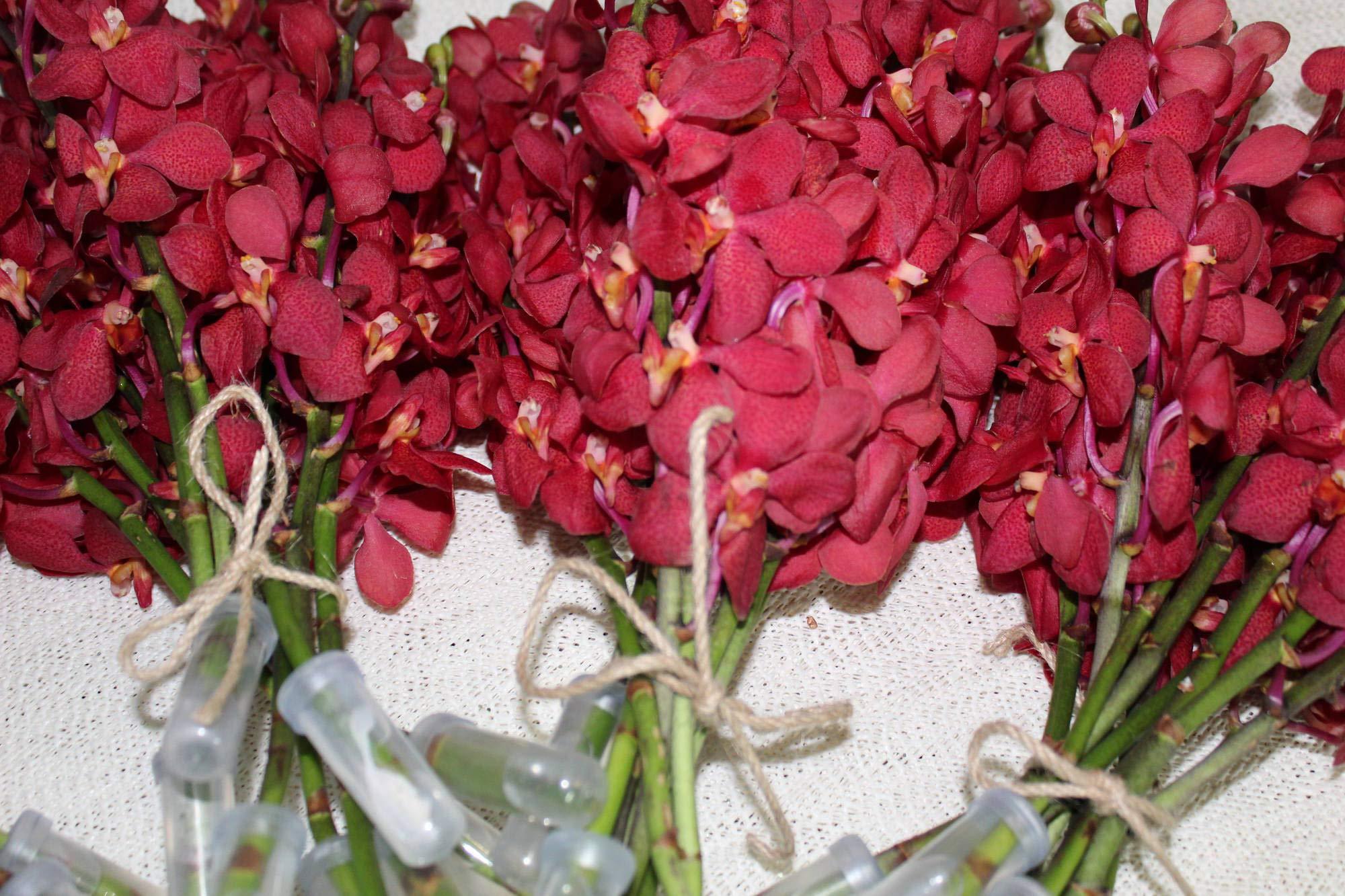 Athena's Garden Fresh Deep Red Mokara Cut Orchids Box 7 Bunches by Athena's Garden