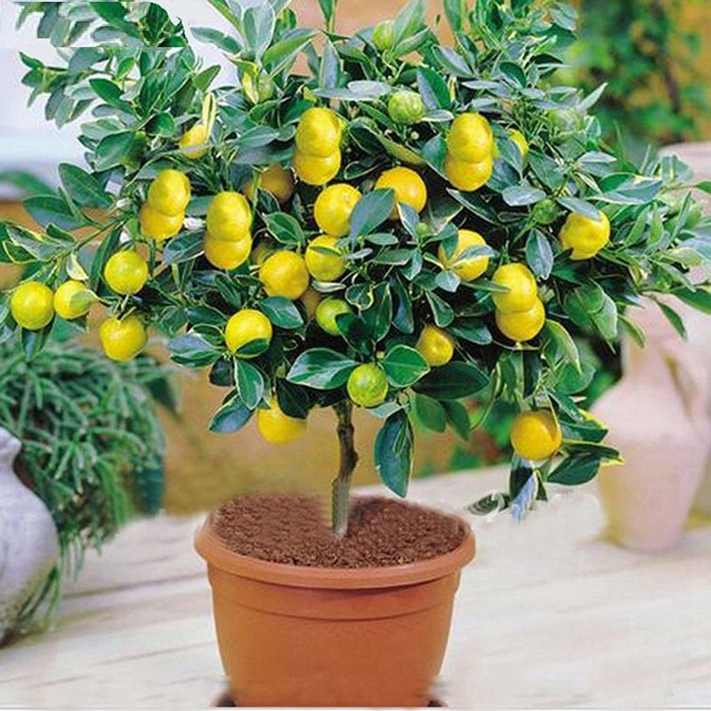 M-Tech Gardens Rare Exotic Tropical Fruit Meyer Lemon Dwarf Citrus ...