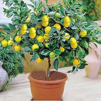 M-Tech Gardens Rare Exotic Tropical Fruit Meyer Lemon Dwarf Citrus Plant (1 Healthy Live Seedling Plant)