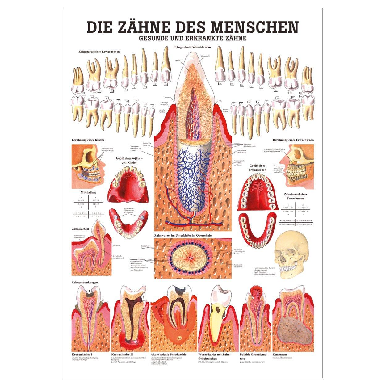 Gesunde Zähne Lehrtafel Anatomie 100x70 cm medizinische Lehrmittel ...