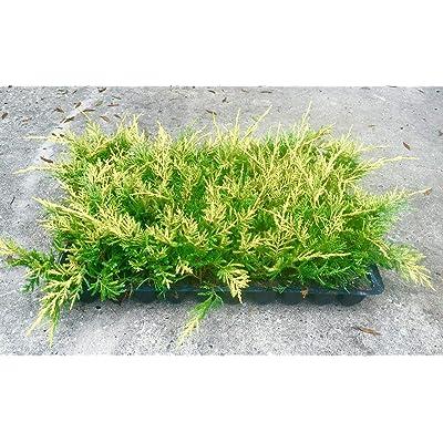 Saybrook Gold Juniper Qty 30 Live Plants Evergreen Ground Cover : Garden & Outdoor
