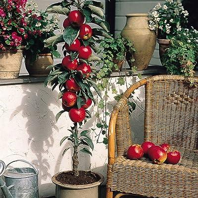 Dwarf Apple Seeds - RED DELICIOUS - Miniature - Indoor or Outdoor - 10 Seeds : Garden & Outdoor