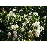 1x EVEGREEN SUMMER FLOWERING WILD FRUIT Chilean Myrtle LUMA APICULATA - young plant in a 7cm pot
