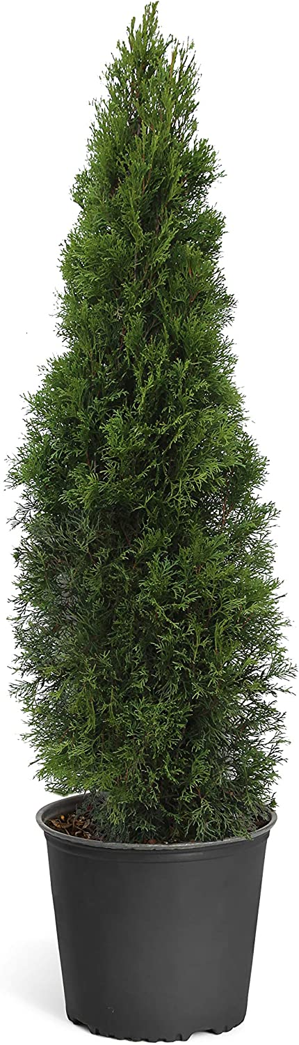 Emerald Green Arborvitae Evergreen Trees- Perfect for Privacy- Large, Developed Trees with Advanced Root Systems - 3-4 ft. | No Shipping to AZ