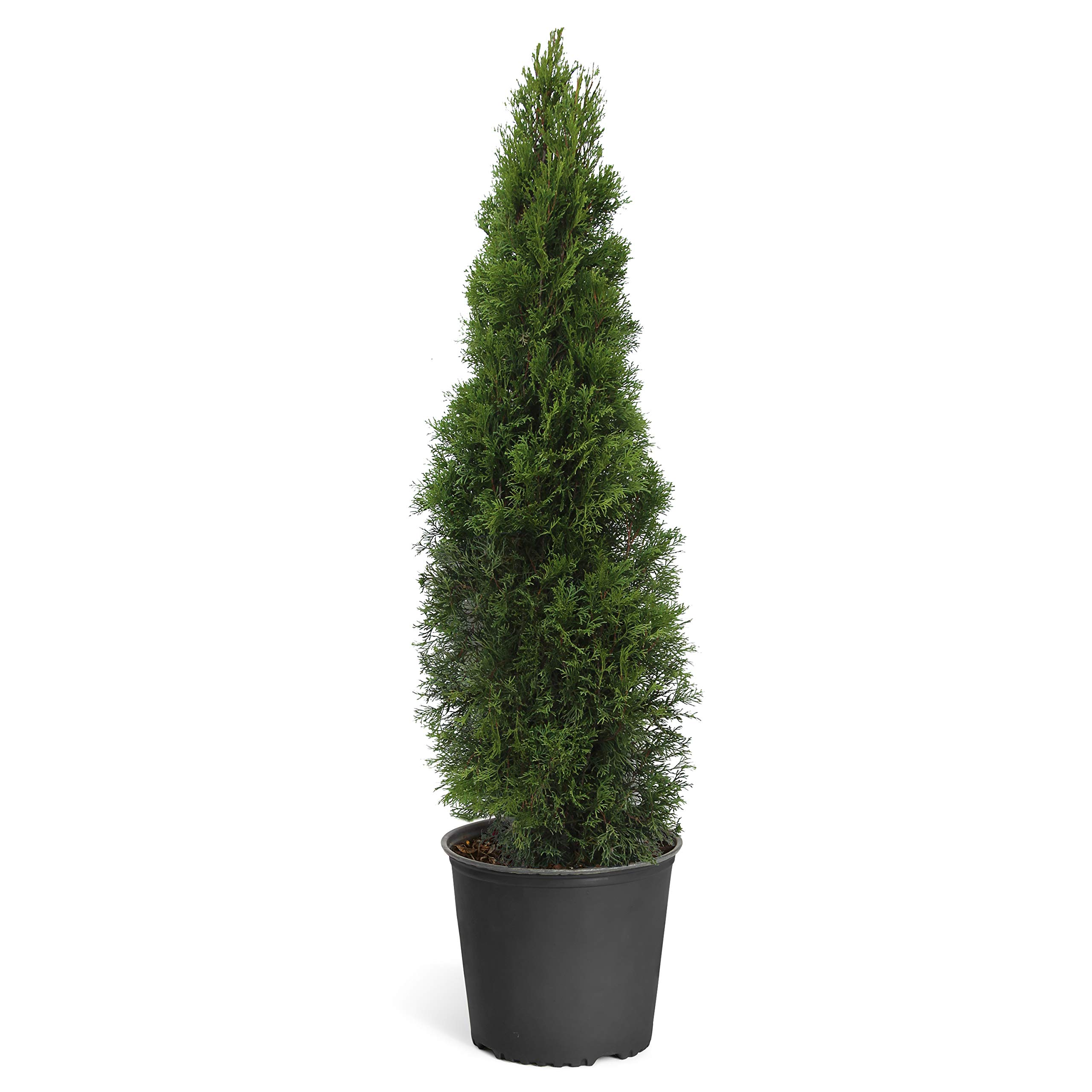Emerald Green Arborvitae Evergreen Trees- 3-4 ft. Tall in 5 Gallon pots - Perfect for Privacy- Large, Developed Trees with Advanced Root Systems