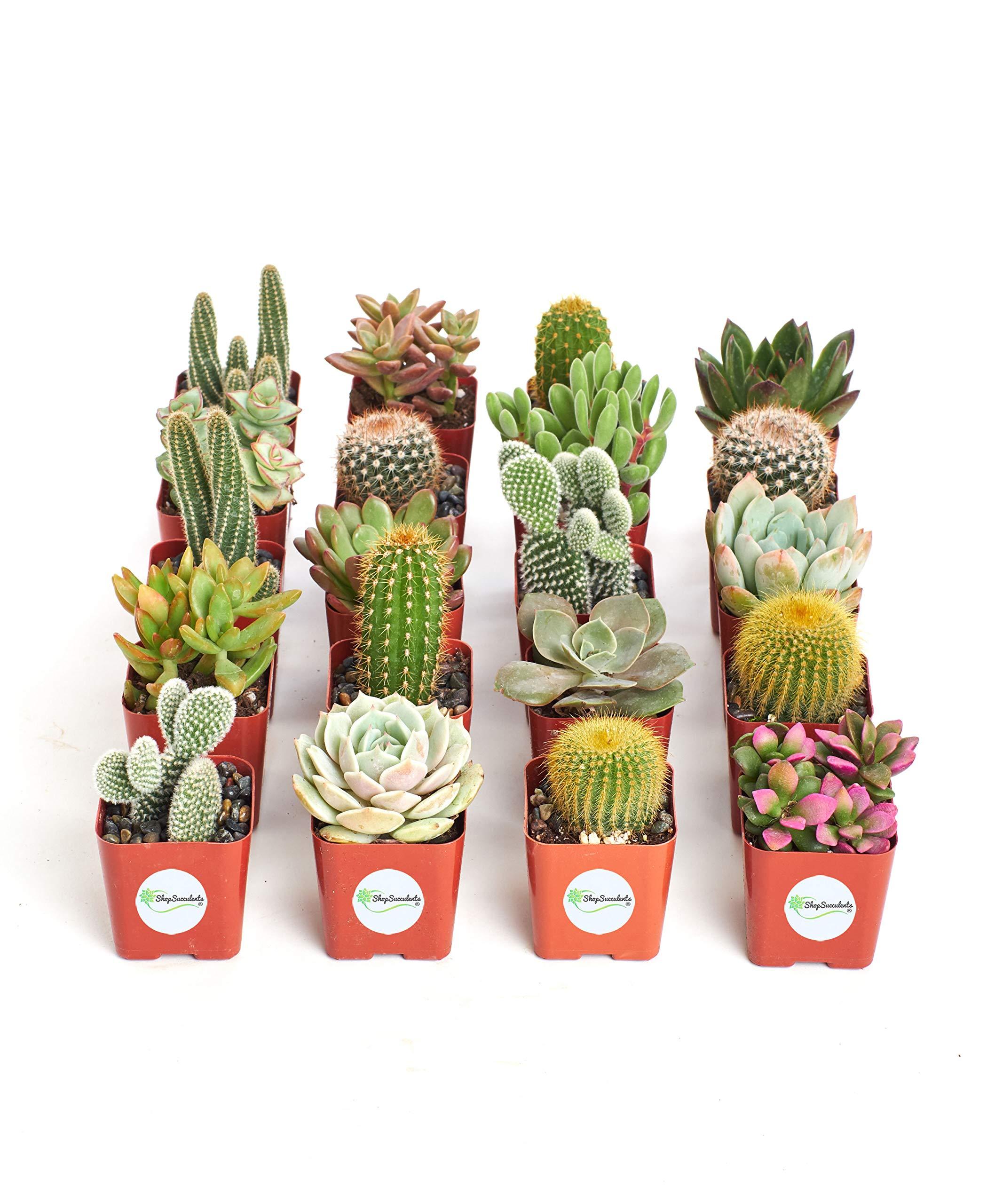 Shop Succulents | Cactus & Succulent Collection of Live Succulent Plants, Hand Selected Variety Pack of Cacti and Mini Succulents | Collection of 20 by Shop Succulents (Image #3)