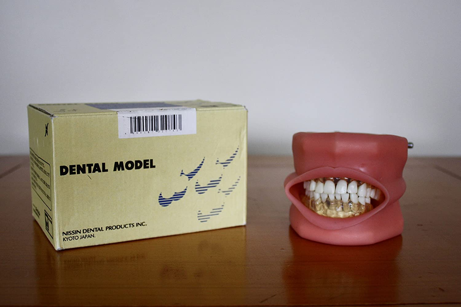 Amazon.com: Nissin Dental Modelo Typodont: Industrial ...