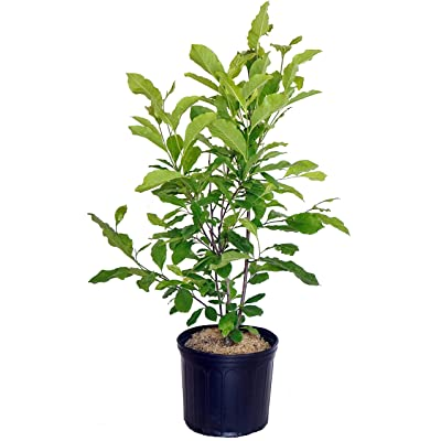 Magnolia liliiflora 'Jane' (Magnolia) Tree, lavender flowers, #3 - Size Container : Garden & Outdoor