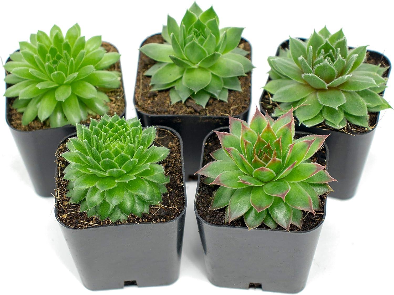 Sedum ternatum plant