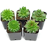 Succulent Plants | 5 Sempervivum Succulents | Rooted in Planter Pots with Soil | Real Live Indoor Plants | Gifts or Room Decor by Plants for Pets