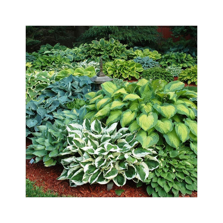 GARTHWAITE NURSERIES® : - 8 Hosta Pot Luck Plantain Lily Mixed Varieties Bare Root Perennial Plant Grade 1