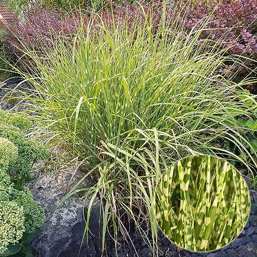 Tom Garten Winterhartes Zerbraschilf Gold Bar Immergrunes Zier Gras Fur Den Garten Pflanze Im 22 Cm Topf Grun Weiss Amazon De Garten