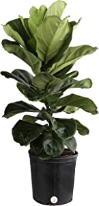 Costa Farms Live Ficus Lyrata, Fiddle-Leaf Fig, Indoor Tree, 3-Feet Tall, Ships in Grower Pot, Fresh From Our Farm