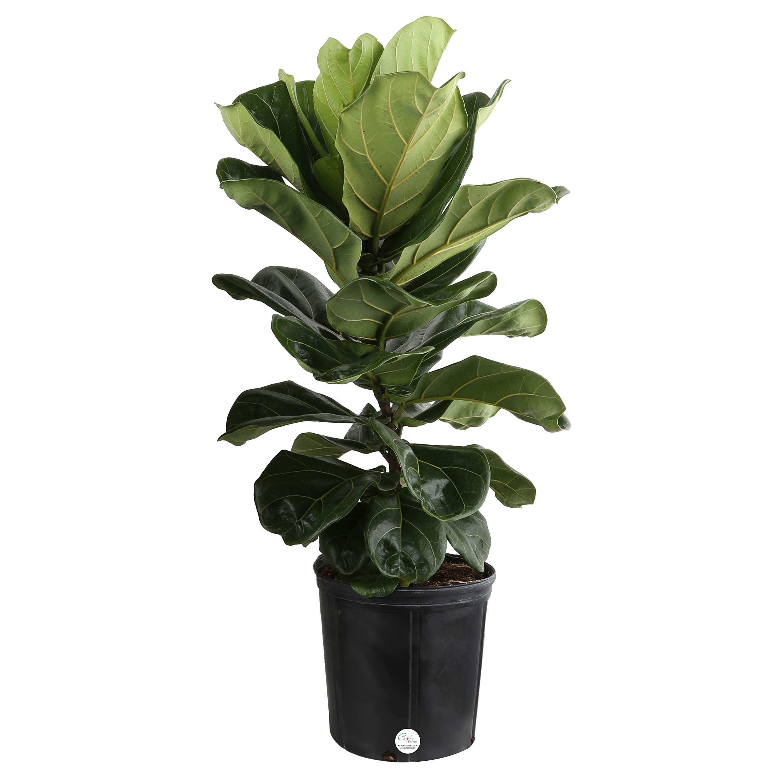 Costa Farms Live Ficus Lyrata, Fiddle-Leaf Fig, Indoor Tree, 3-Feet Tall, Ships in Grower Pot, Fresh From Our Farm by Costa Farms