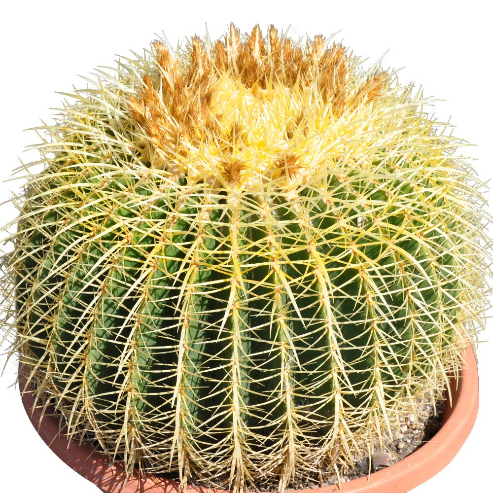 16'' Plus Echinocactus Grusonii 'Golden Barrel' Cactus Specimen Very Large Drought Tolerant Plant by THE NEXT GARDENER