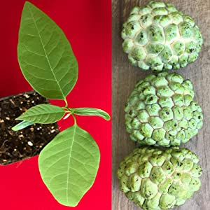 Sugar Apple Plant, Live Plant - Sugar Apple Live Fruit Tree, for Gardening and Outdoor Plant