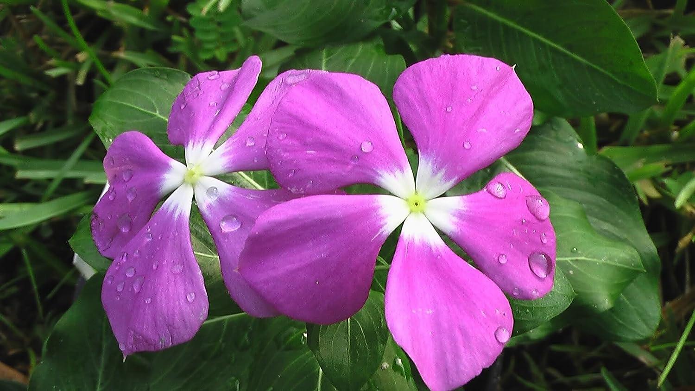 Amazon 100 Pink Dwarf Rose Periwinkle Vinca Rosea Flower