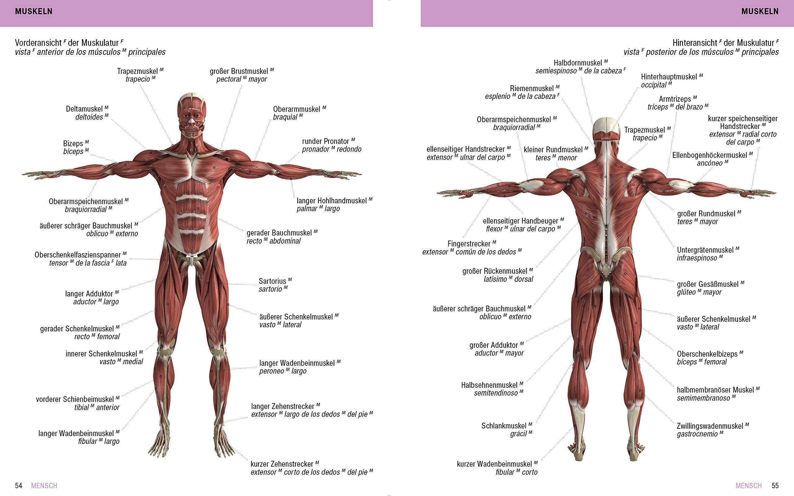 Atemberaubend Muskel Mensch Bilder - Anatomie Von Menschlichen ...