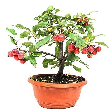 Manzano ornamental, Malus Georgus, bonsái para exterior, 10 años, altura 31 cm