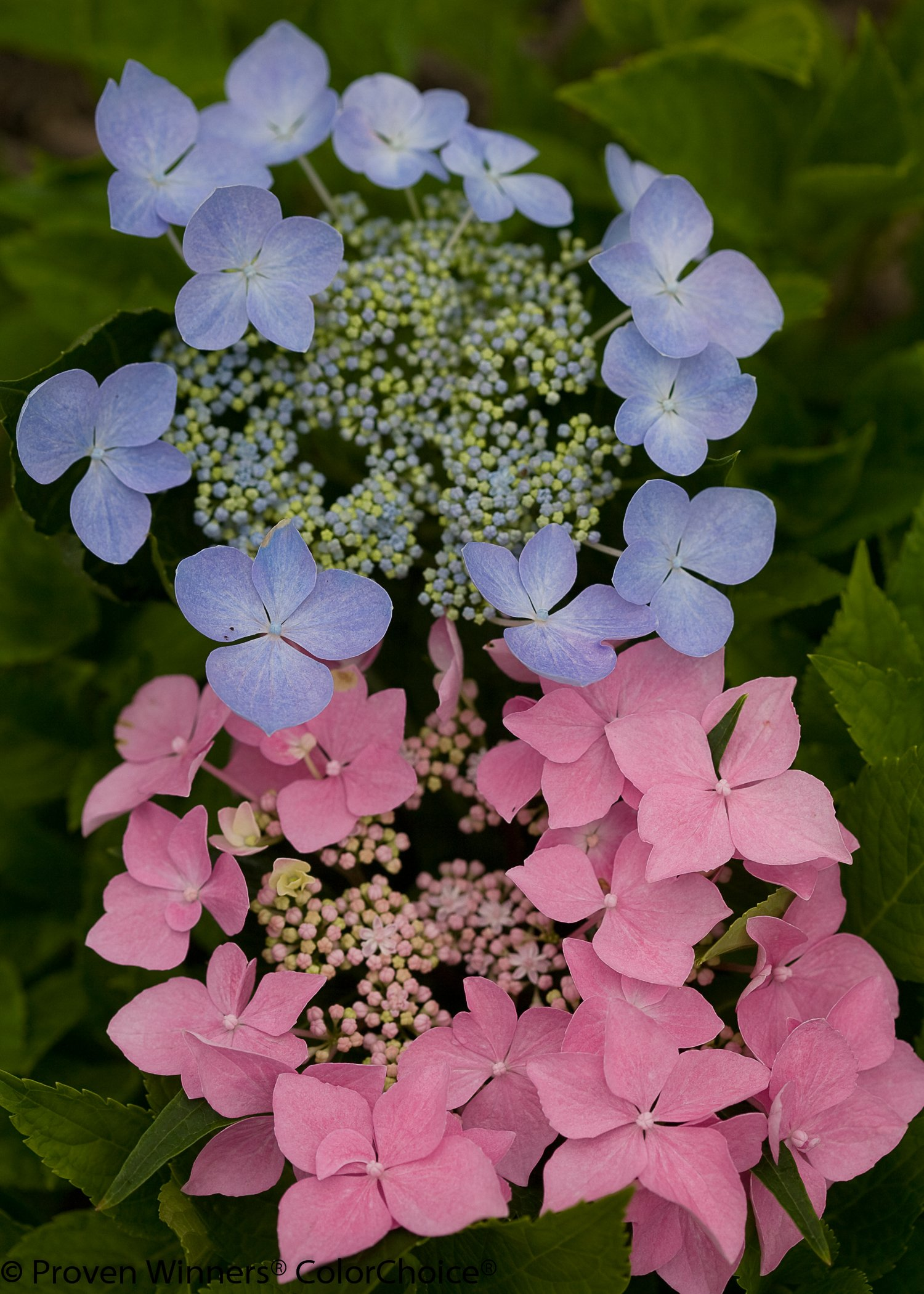 1 Gal. Let's Dance Starlight Bigleaf Hydrangea (Macrophylla) Live Shrub, Blue or Pink Flowers by Proven Winners (Image #5)