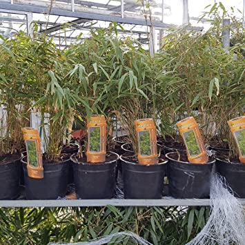 Bamboo Fargesia Rufa 2 Litre Fast Growing Non Invasive Bamboo Plants ...