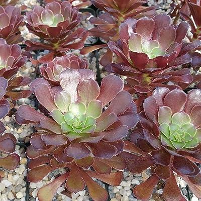 Live Plant - Aeonium Arboreum Cactus Cacti Succulent Real Live Succulent Plant for Decoration #RR08 : Garden & Outdoor