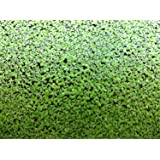 500 Live Duckweed Plants (LEMNA Minor)