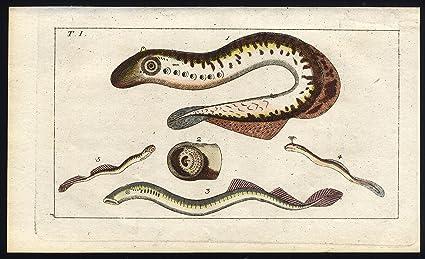 Amazon Com Antique Print Lamprey Eel Wilhelm 1812 Posters Prints