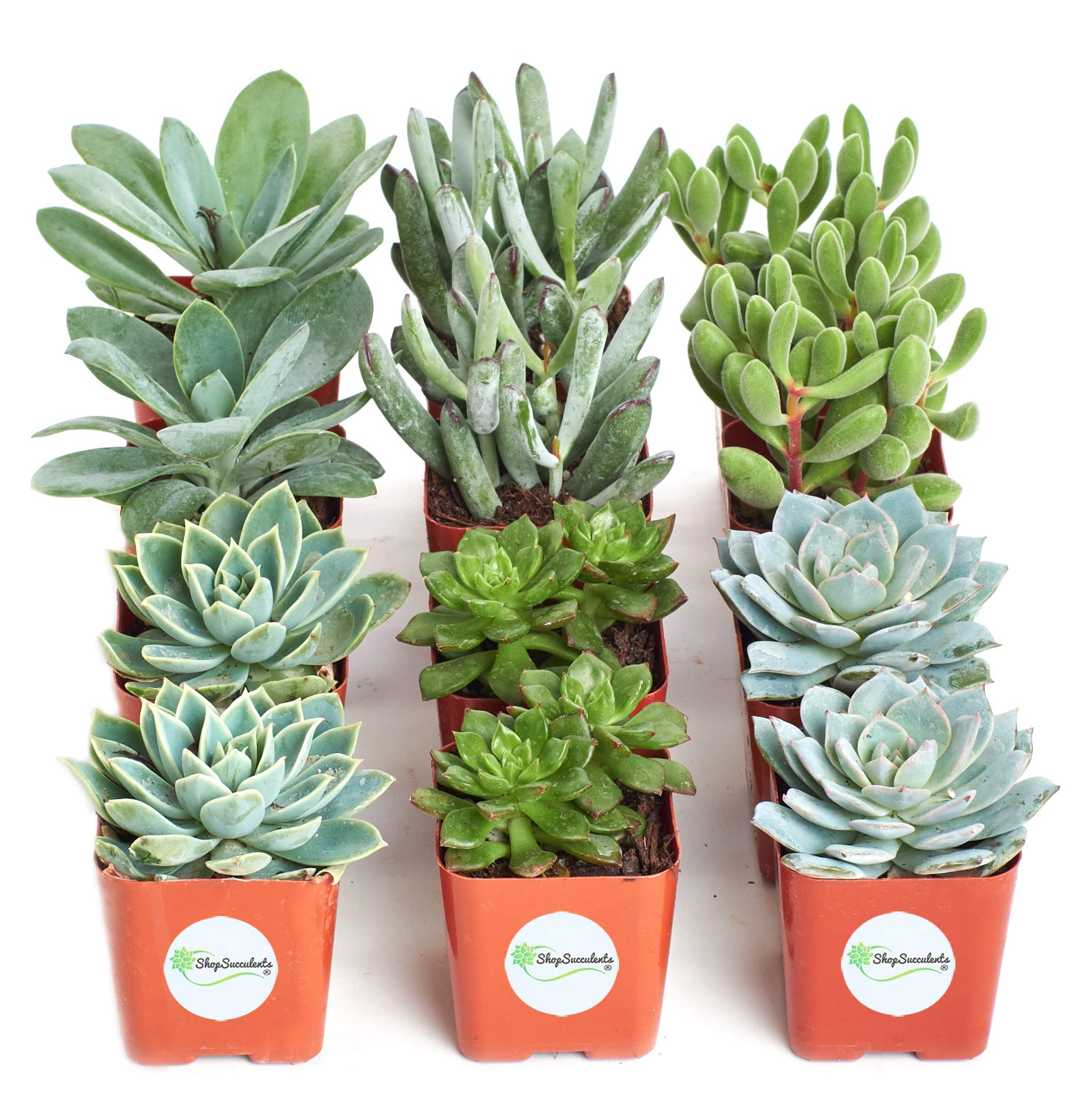Shop Succulents | Blue/Green Live Plants, Hand Selected Variety Pack of Succulents | | Collection of 12 in 2'' pots, Pack of 12