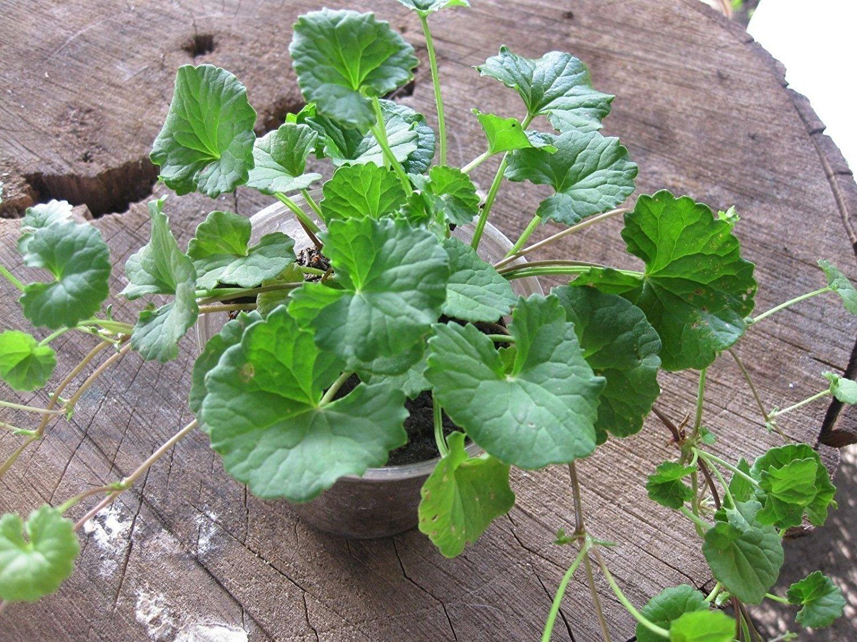 Gotu Kola (heart-shaped leaf), Asiatic Pennywort, Centella aka Centella Asiatica Live Plant - 2 Herb Live Plants