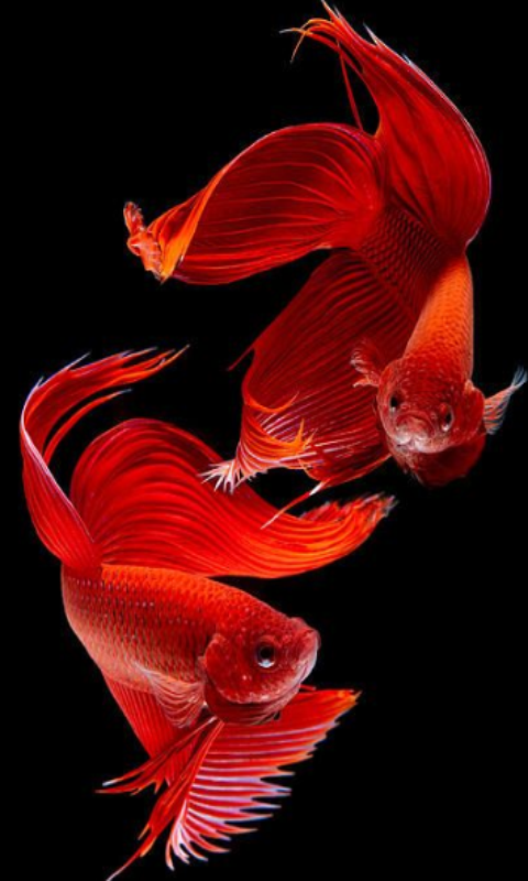 Betta fish beauty appstore for android for Betta fish price