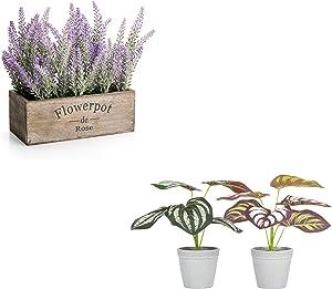 Velener Potted Lavender + Peacock Plant Set