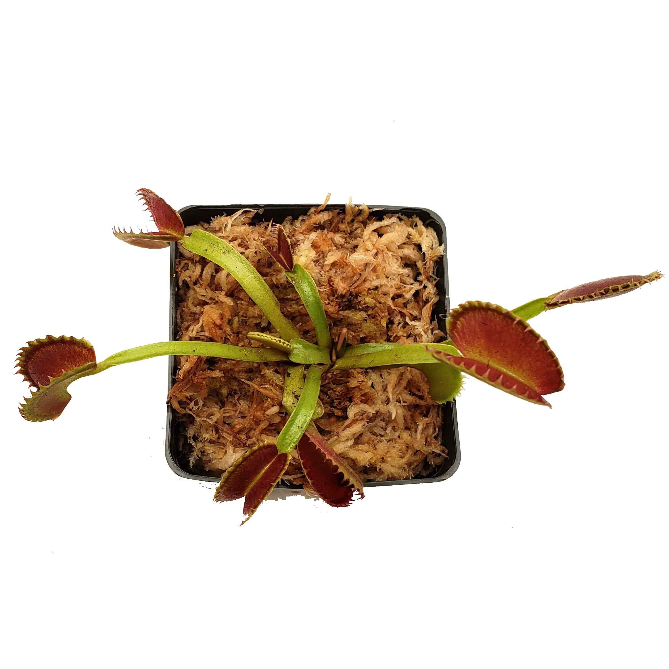 Venus Flytrap 'Dente' Carnivorous Plant, Dionaea muscipula, Live Arrival, Adult Plant, 3'' Pot - Predatory Plants by Predatory Plants (Image #2)