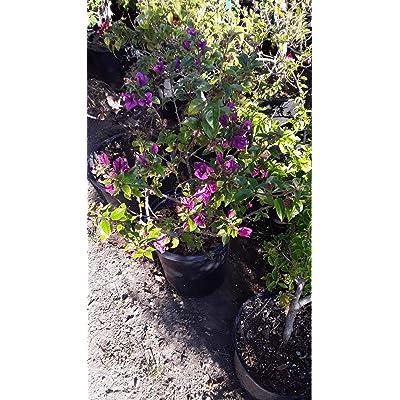 AchmadAnam - Live Plant - Purple Bougainvillea - 1 Plant - 2 Feet Tall - Ship in 3 Gal Pot. E9 : Garden & Outdoor