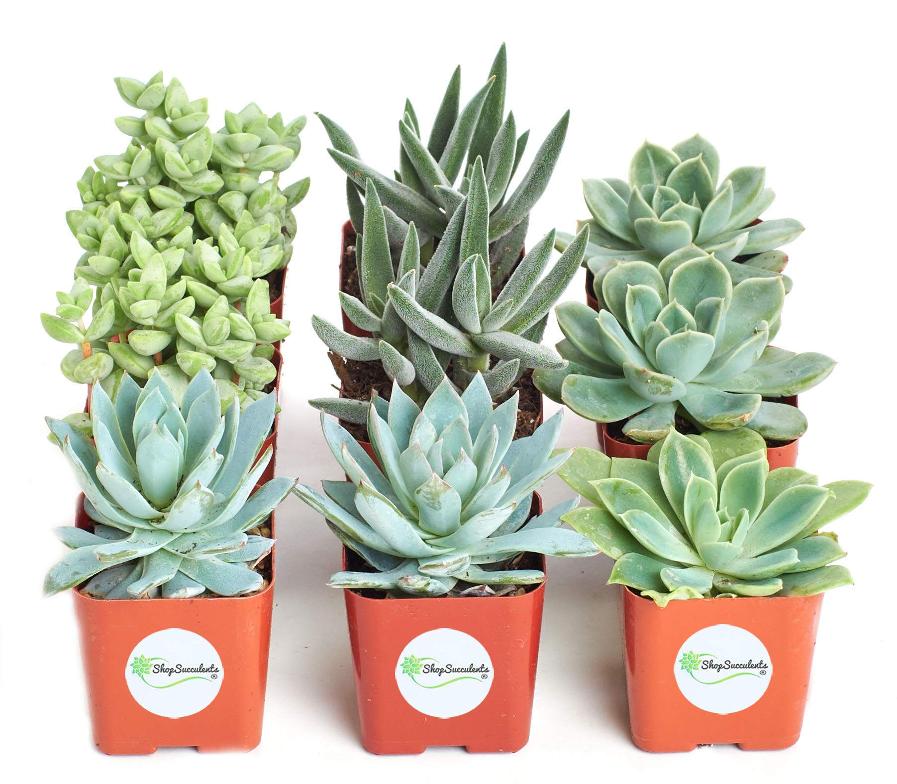 Shop Succulents | Blue/Green Live Plants, Hand Selected Variety Pack of Succulents | | Collection of 9 in 2'' pots, Pack of 9