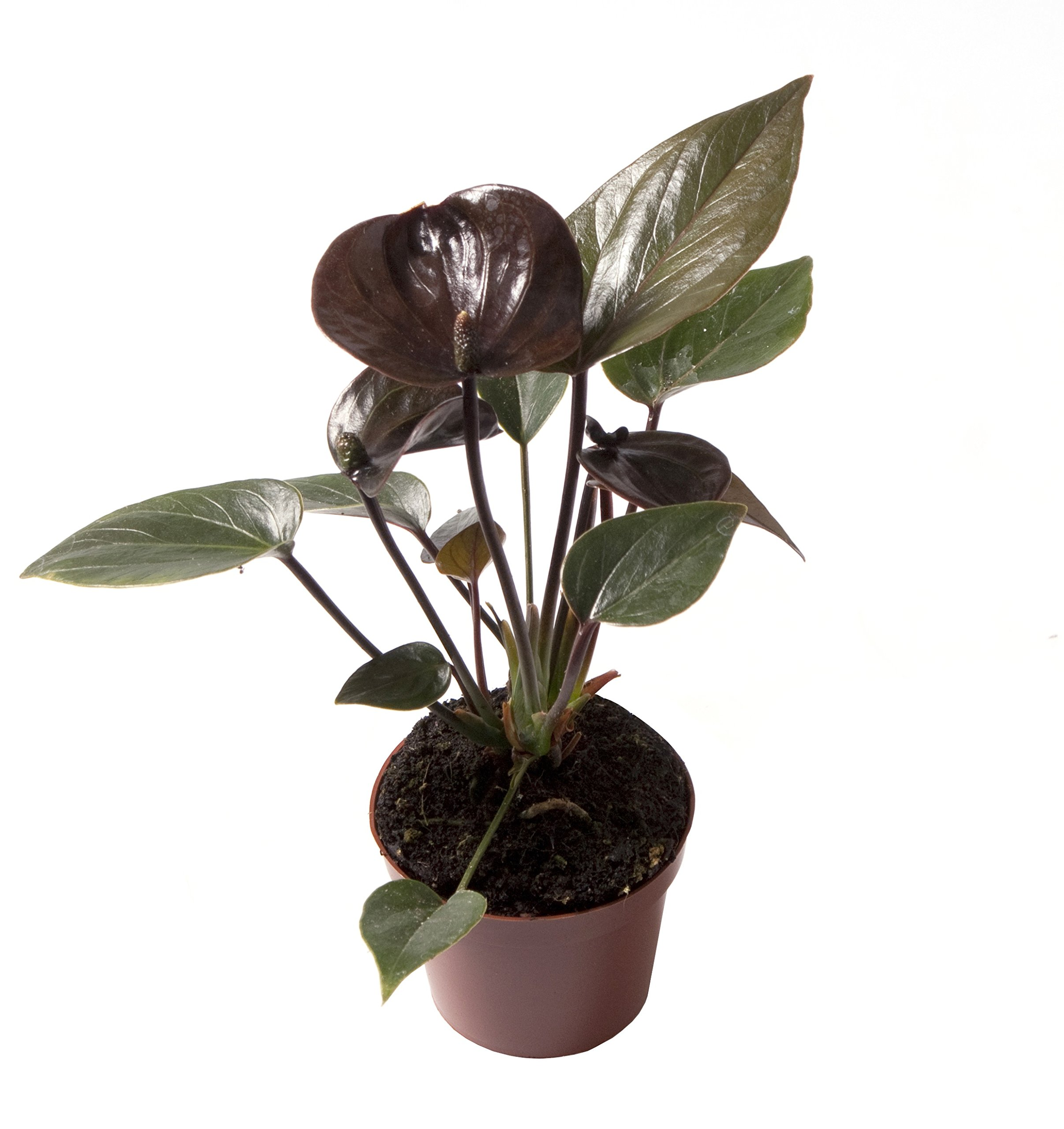 Anthurium Dark Chocolate - Live House Plant - Easy to Grow - Florist Quality - Cleans the Air by Florida Foliage (Image #3)