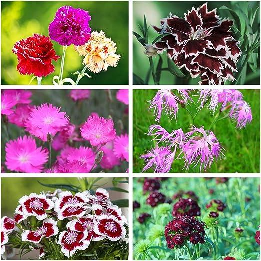 Claveles - decoración colorida jardín - semillas de 6 especies de plantas con flores - 6 paquetes de semillas: Amazon.es: Jardín