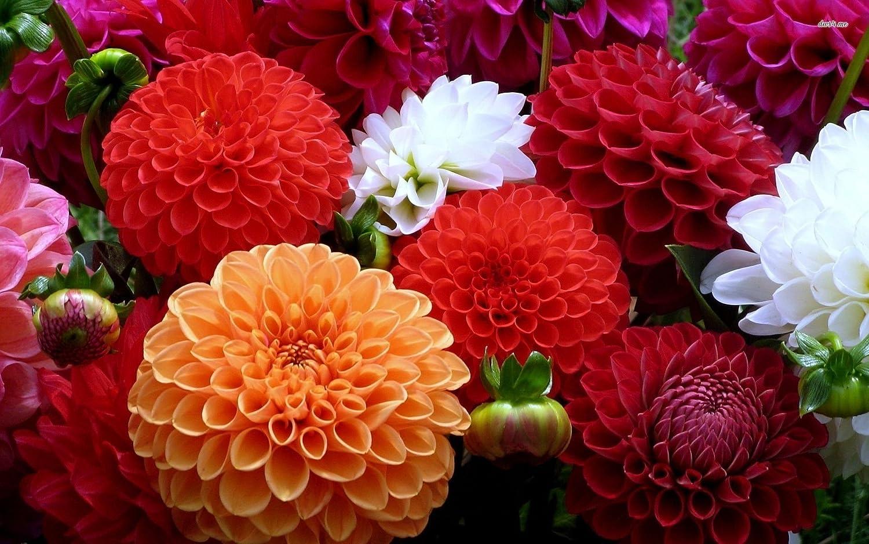 Creative farmer dahlia unwin dwarf flower seeds amazon garden creative farmer dahlia unwin dwarf flower seeds amazon garden outdoors izmirmasajfo