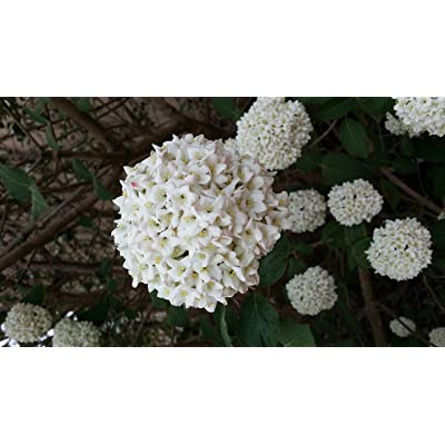 (2 Gallon) Popcorn Viburnum (Japanese Snowball) - 3-inch-Diameter White Round Blooms Continuously All Spring : Garden & Outdoor