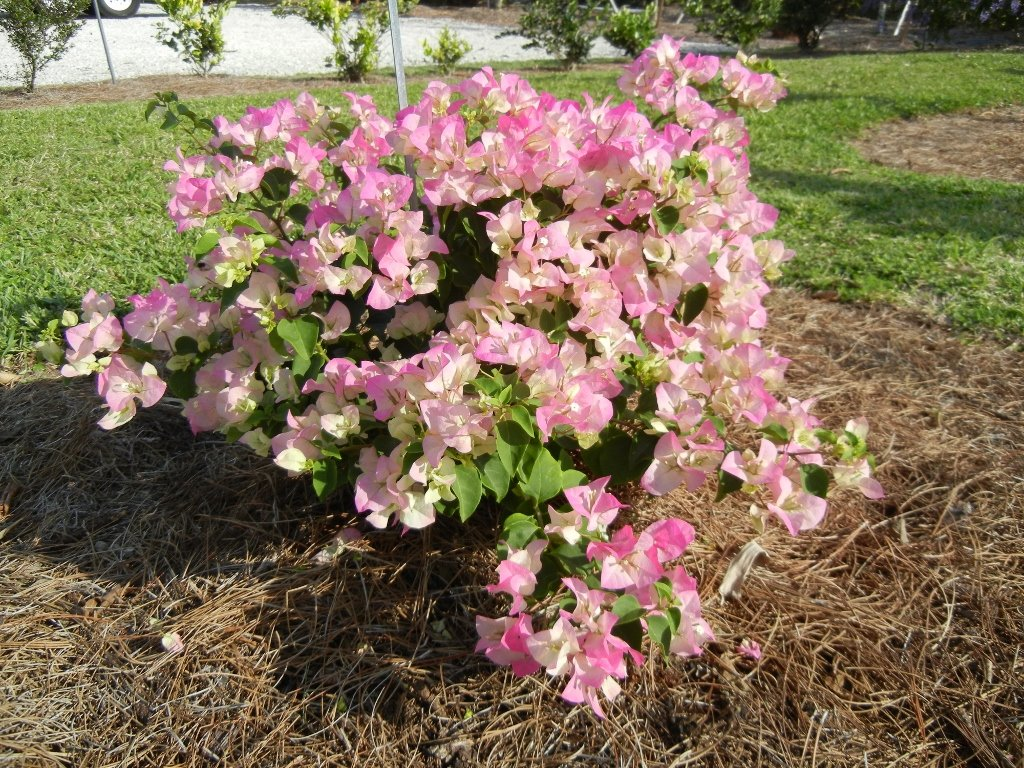 LIVE Imperial Delight Bougainvillea aka Boug. 'Imperial Thai' Patio Plant Fit 03 Gallon Pot by dhed garden
